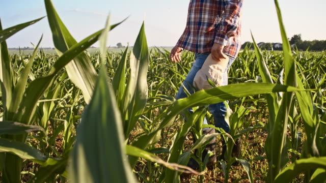 vídeos de stock, filmes e b-roll de slo mo american agricultor caminhar no campo - milho
