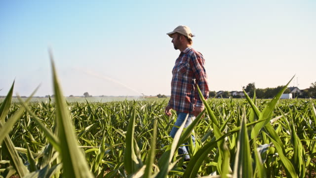 slo mo american farmer walking in the field - corn cob stock videos & royalty-free footage