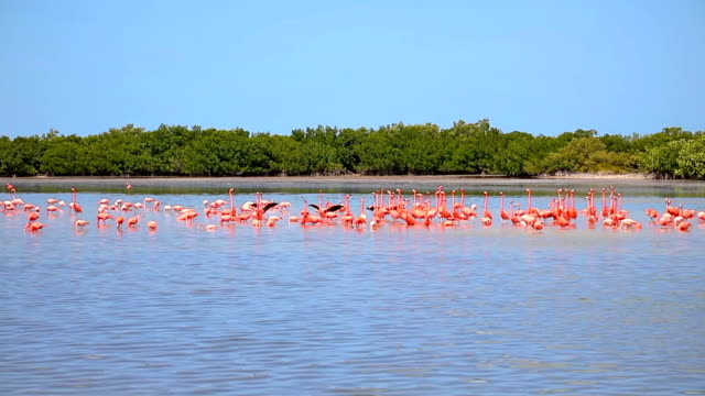 Amerikanische Flamingo bei Ria Lagartos Biosphären-Reservat, Halbinsel Yucatan, Mexiko