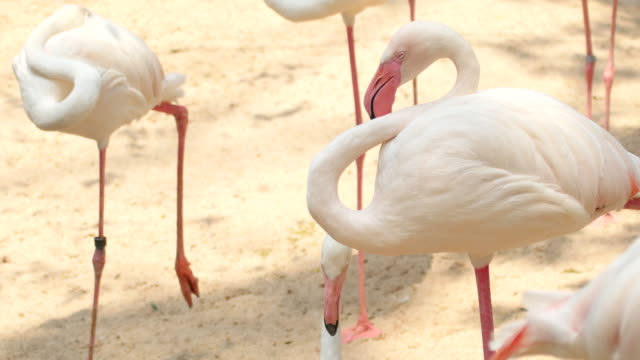 american flamingo in nature, 4k(uhd) - florida south africa stock videos & royalty-free footage