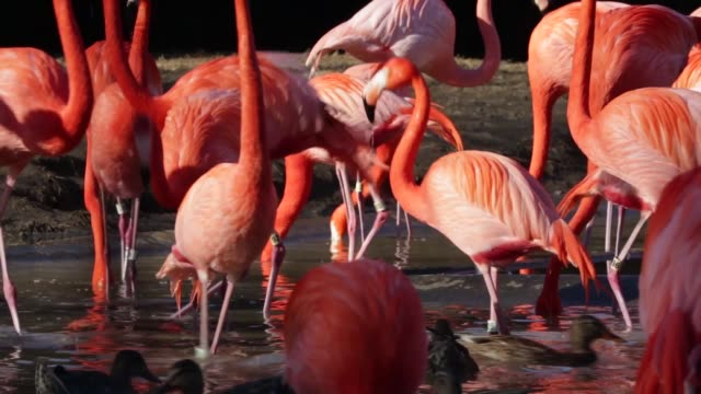 ms american flamingos live in their habitat at the national zoo washington dc february 23 2014 - flamingo stock-videos und b-roll-filmmaterial