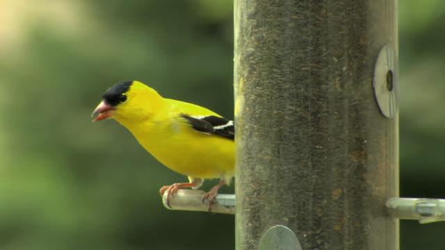 slo mo zi cu american goldfinch (carduelis tristis) at birdfeeder, chelsea, michigan, usa - yellow stock videos & royalty-free footage