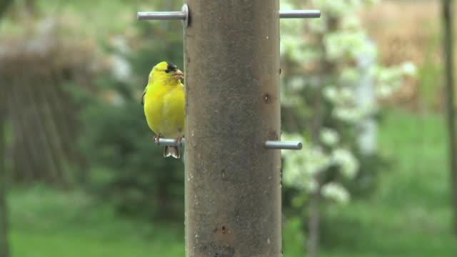 SLO MO ZI MS American Goldfinch (Carduelis tristis) at birdfeeder, Chelsea, Michigan, USA