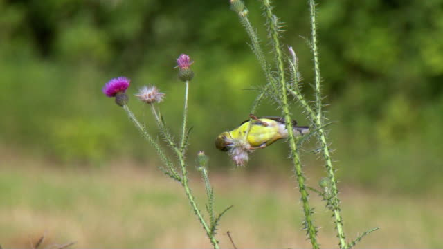 ws american goldfinch (spinus tristis) eating thistle seeds / tweed, ontario, canada - thistle stock videos & royalty-free footage