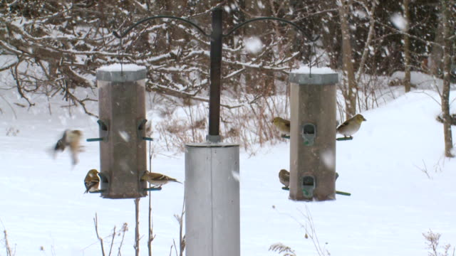MS American goldfinches at feeder during winter / Tweed, Ontario, Canada