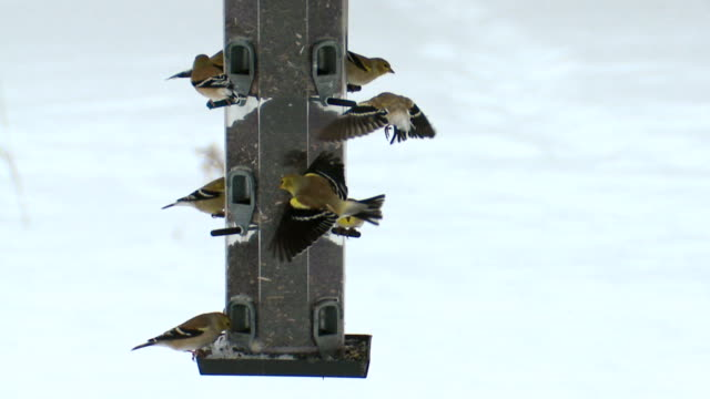 ms american goldfinches at feeder during winter / tweed, ontario, canada - large group of animals bildbanksvideor och videomaterial från bakom kulisserna