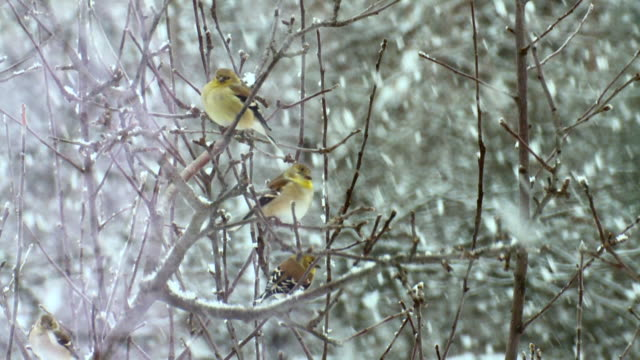 MS American Goldfinches perching on branch during snowstorm / Tweed, Ontario, Canada
