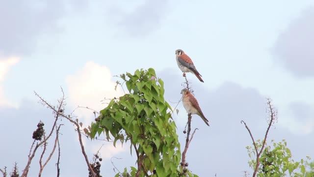 american kestrel couple flying away. - american kestrel stock videos & royalty-free footage