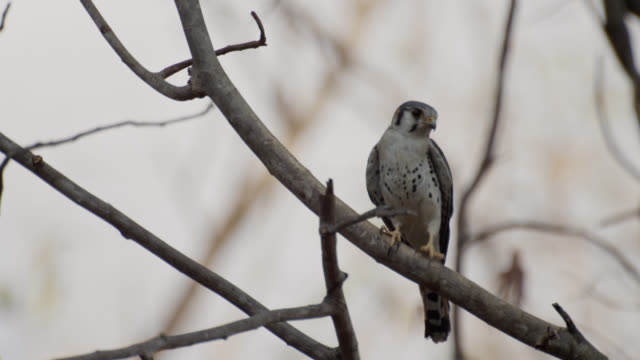 american kestrel (falco sparverius) perched in tree. - bbc stock videos & royalty-free footage