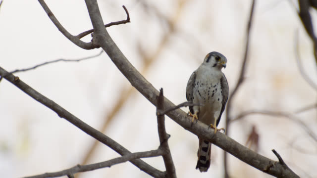 american kestrel (falco sparverius) takes off from tree. - bbc stock videos & royalty-free footage