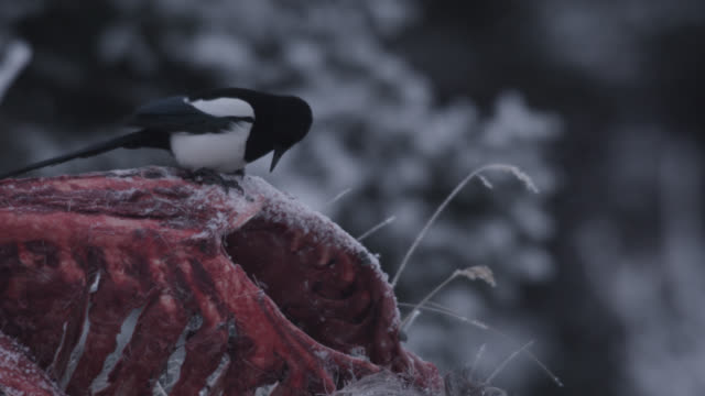 american magpies (pica hudsonia) scavenge on frozen moose carcass, alaska, usa - elster stock-videos und b-roll-filmmaterial