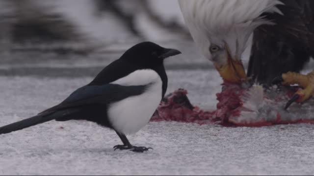 american magpies watch bald eagle (haliaeetus leucocephalus) feed on salmon prey, alaska, usa - elster stock-videos und b-roll-filmmaterial