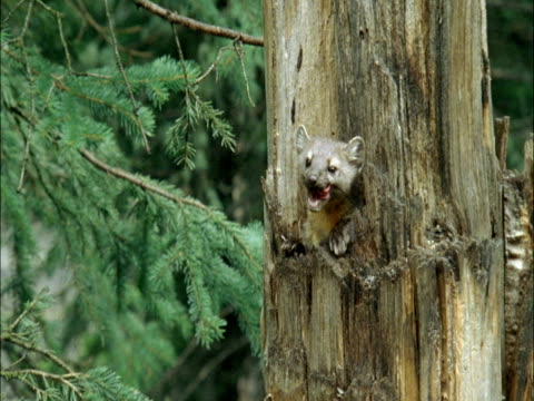 american marten (martes americana) emerges from hole in pine tree trunk, montana, usa - pine stock videos & royalty-free footage
