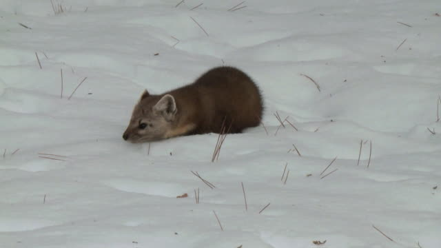 MS American marten (Martes americana) hunting for prey in winter / Dwight, Ontario, Canada