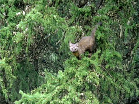 american marten (martes americana) leaps from pine tree branch, montana, usa - marten stock videos and b-roll footage