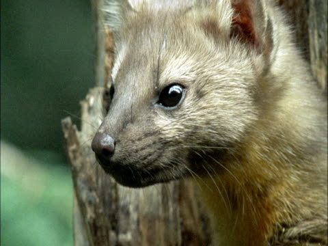american marten (martes americana) peers out of hole in pine tree trunk, montana, usa - pinaceae stock videos & royalty-free footage