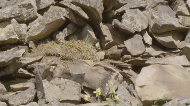 american pika (ochotona princeps) carries food to its food cache, canada - creazione animale video stock e b–roll