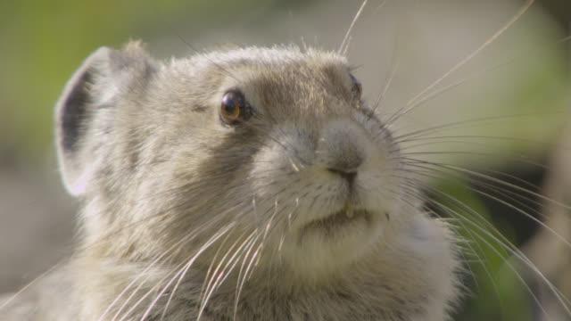 vídeos de stock, filmes e b-roll de american pika (ochotona princeps) looking alert on mountainside, canada - bigode de animal