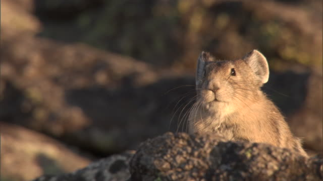 American pika (Ochotona princeps) on rocks, Yellowstone, USA