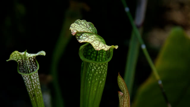 american pitcher plant close up - carnivorous plant stock videos and b-roll footage