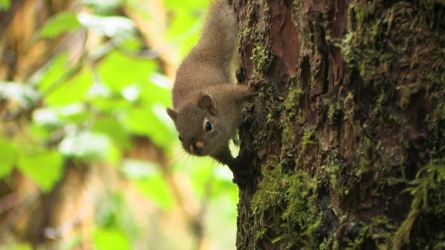 cu, tu, american red squirrel (tamiasciurus hudsonicus) climbing tree trunk, glacier bay national park and preserve, alaska, usa - squirrel stock videos and b-roll footage