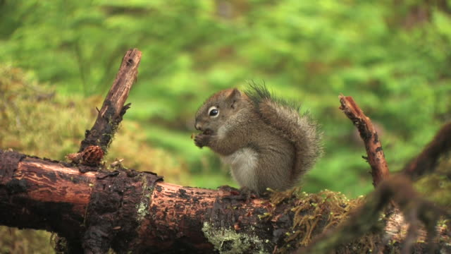 ms, american red squirrel (tamiasciurus hudsonicus) eating seeds from pinecone on log, glacier bay national park and preserve, alaska, usa - pigna strobilo video stock e b–roll