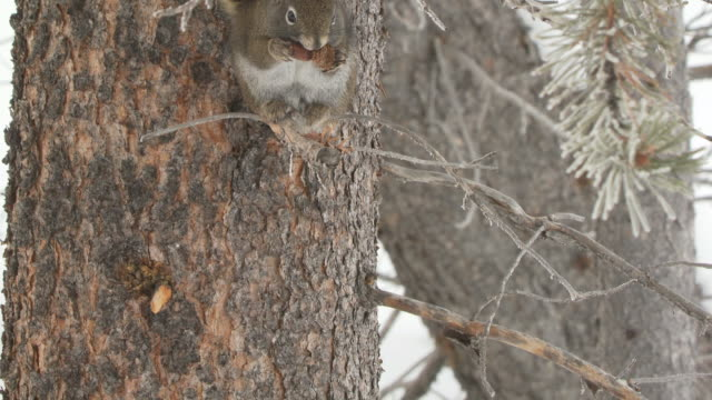 MS TU American red squirrelsitting on branch eating and pine cone / Yellowstone National Park, Wyoming, United States