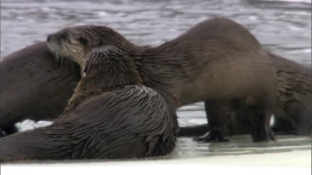 vídeos y material grabado en eventos de stock de american river otters (lontra canadensis) dive into frozen river, yellowstone, usa - nutria de río