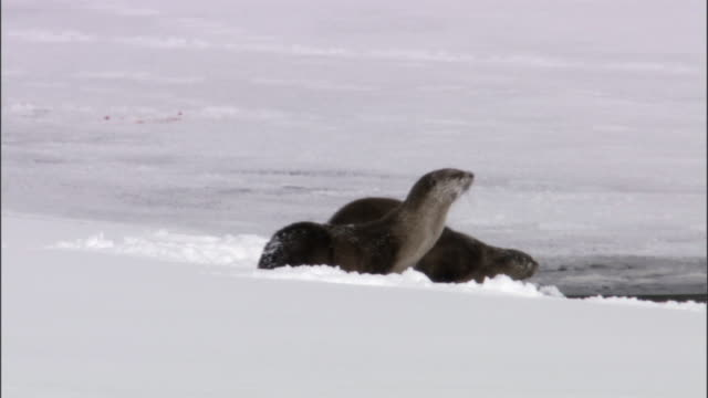 American river otters (Lontra canadensis) dive into frozen river, Yellowstone, USA