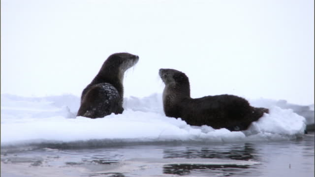 American river otters (Lontra canadensis) play in snow, Yellowstone, USA