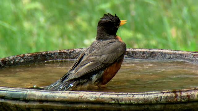 ms american robin (turdus migratorius) bathing in bird bath, tweed, ontario, canada - thrush stock videos & royalty-free footage