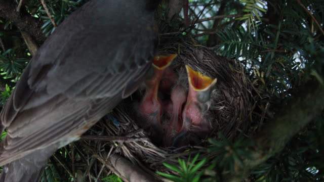 american robin feeding baby birds in nest - bird's nest stock videos & royalty-free footage