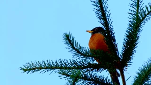 American Robin in an Evergreen Tree 1 Summer on Mound Hood