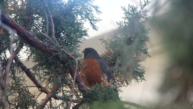 American Robin in nature