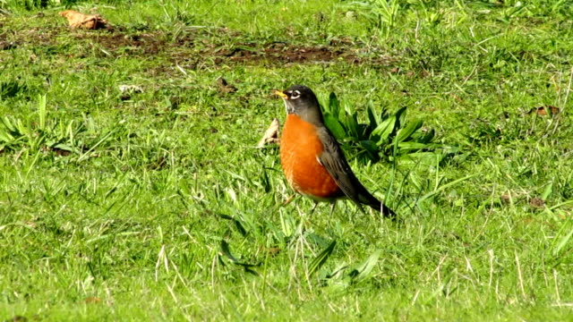 american robin - thrush stock videos & royalty-free footage