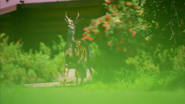 american rockies wild deer in national park feeding - 動物の脚点の映像素材/bロール