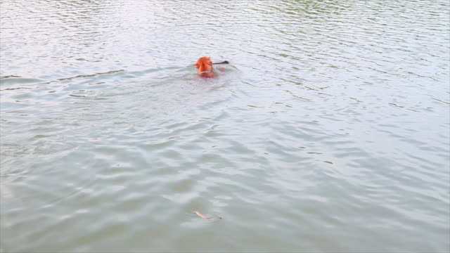 American (Pit Bull) Terrier Swimming with a Stick