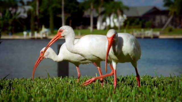 american white ibis - cape coral stock videos & royalty-free footage