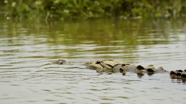 american�ï�¿�½crocodile�ï�¿�½(crocodylus acutus), tarcoles river, costa rica, central america - one animal stock videos & royalty-free footage