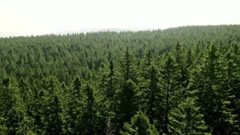 aerial amidst the treetops in a coniferous forest on a sunny day - pine tree stock videos & royalty-free footage