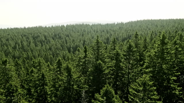aerial amidst the treetops in a coniferous forest on a sunny day - evergreen stock videos & royalty-free footage