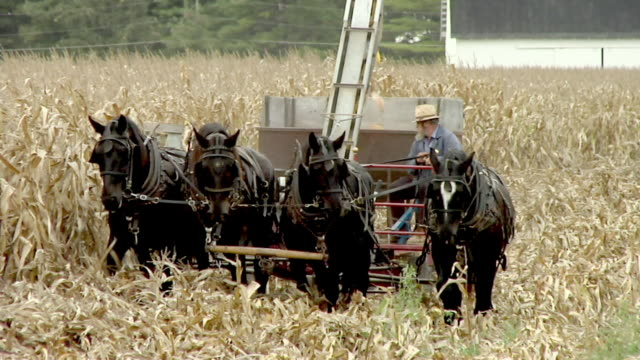 vídeos de stock e filmes b-roll de ms, amish farmer harvesting corn with horse drawn wagon, nappanee, indiana, usa - amish