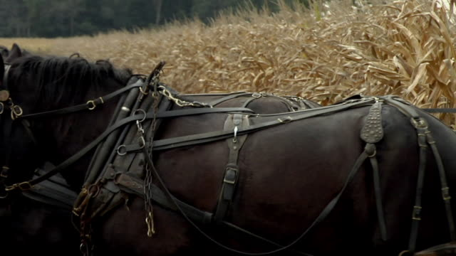 pan, zo, ws, amish farmer harvesting corn with horse drawn wagon, rear view, nappanee, indiana, usa - amische stock-videos und b-roll-filmmaterial
