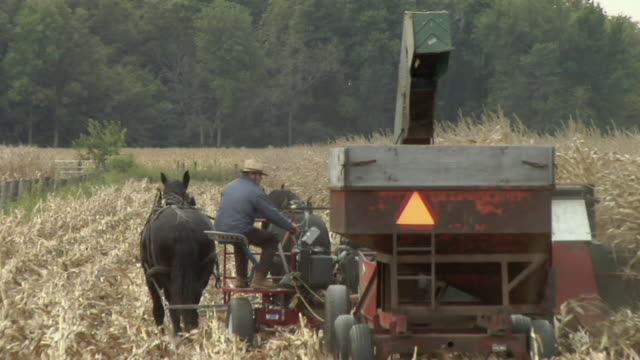 vídeos de stock e filmes b-roll de ws, amish farmer harvesting corn with horse drawn wagon, rear view, nappanee, indiana, usa - amish