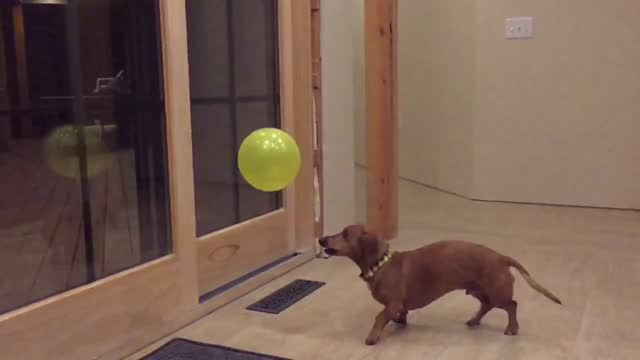 ammo the dachshund is responsible for a number of https://www.youtube.com/user/nitrobabe88/videos?flow=grid&view=0&sort=p youtube... - https stock-videos und b-roll-filmmaterial