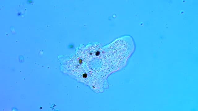 stockvideo's en b-roll-footage met amoeba protozoan - enkel object