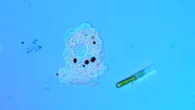amoeba protozoan - cell membrane stock videos & royalty-free footage