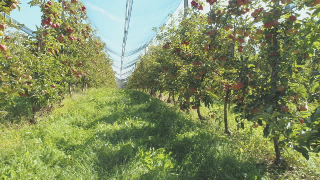 AERIAL Among apple trees in the orchard