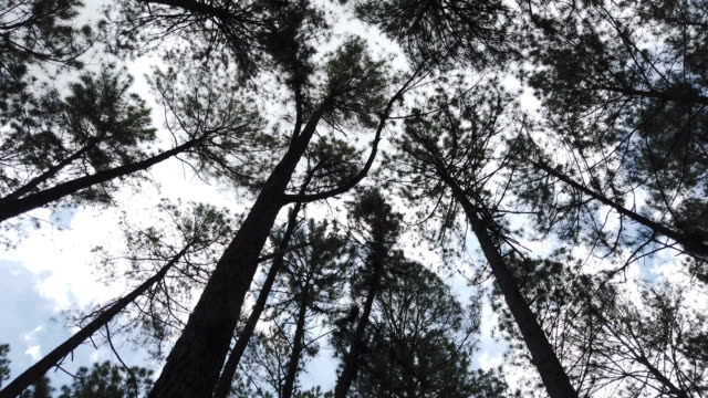 among pine trees moving with the wind. - pigna strobilo video stock e b–roll