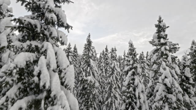 AERIAL Amongst the snowy spruce forest trees